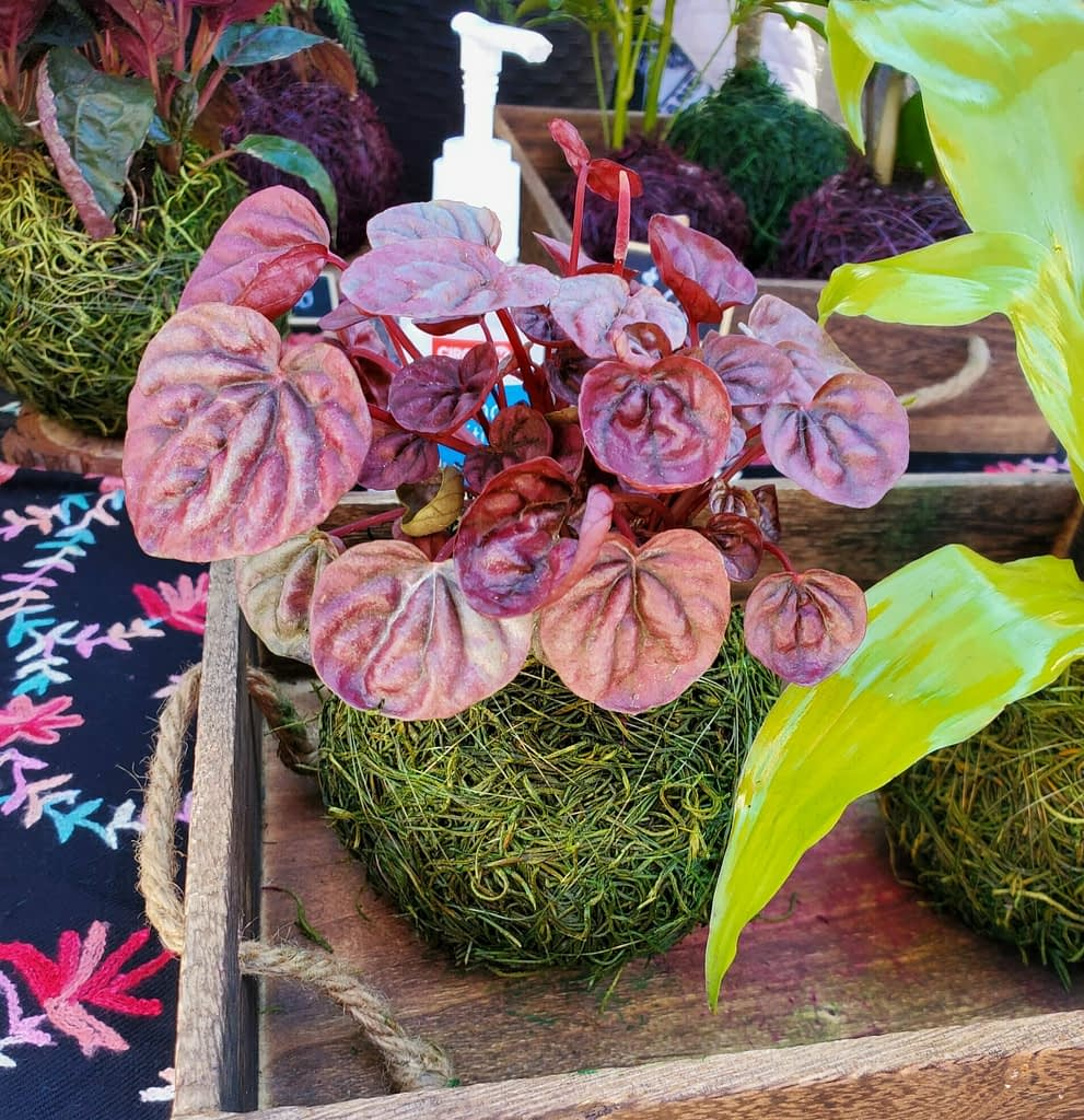 plum colored plant in a circular moss base